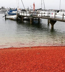 Thousands of tuna crabs were washed up on the shores of Balboa Island in southern California