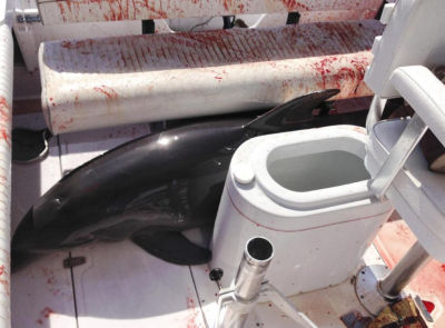 photo provided by Dirk Frickman shows a dolphin that leaped onto his boat and crashed into his wife, Chrissie Frickman